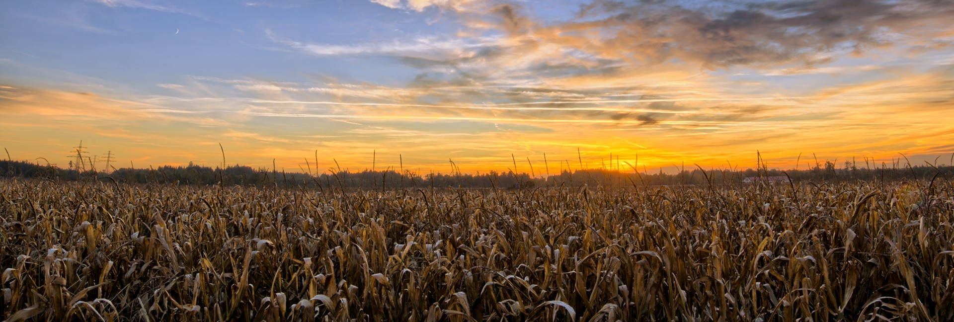 Ripe Cornfield at Sunset